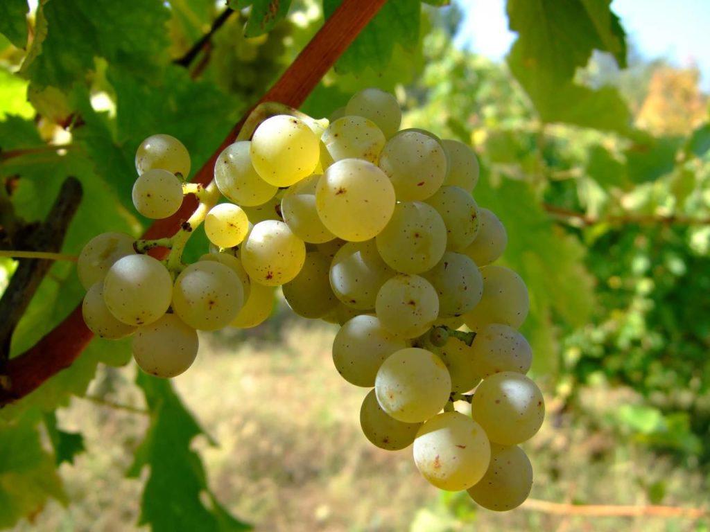 vitivinicolo vino